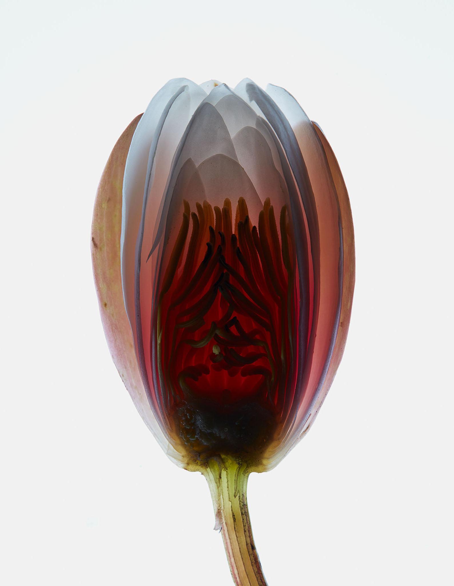 Fleurs Hermetica : Lotus